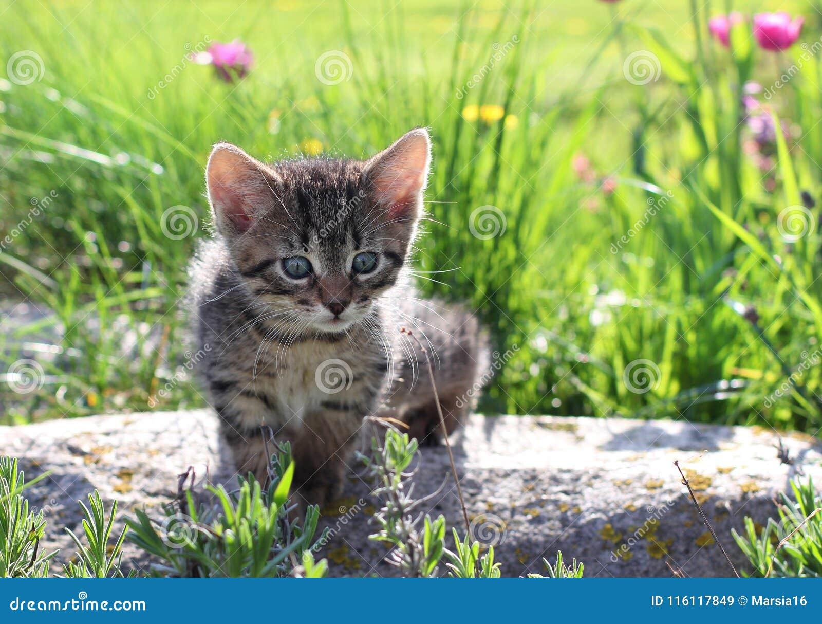 凝视在草叶的露珠的小猫