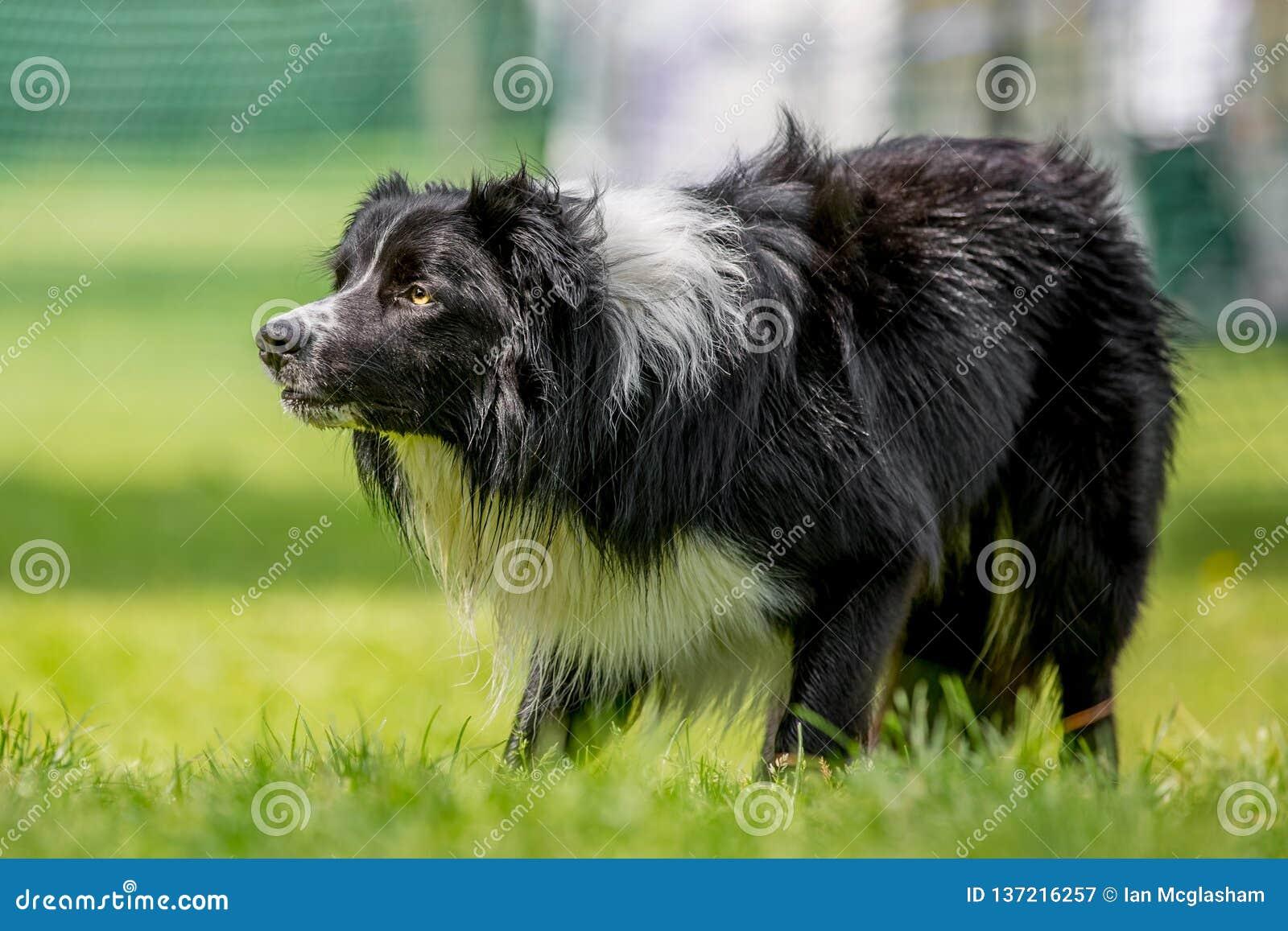 凝视某事的博德牧羊犬护羊狗-在草的可能绵羊