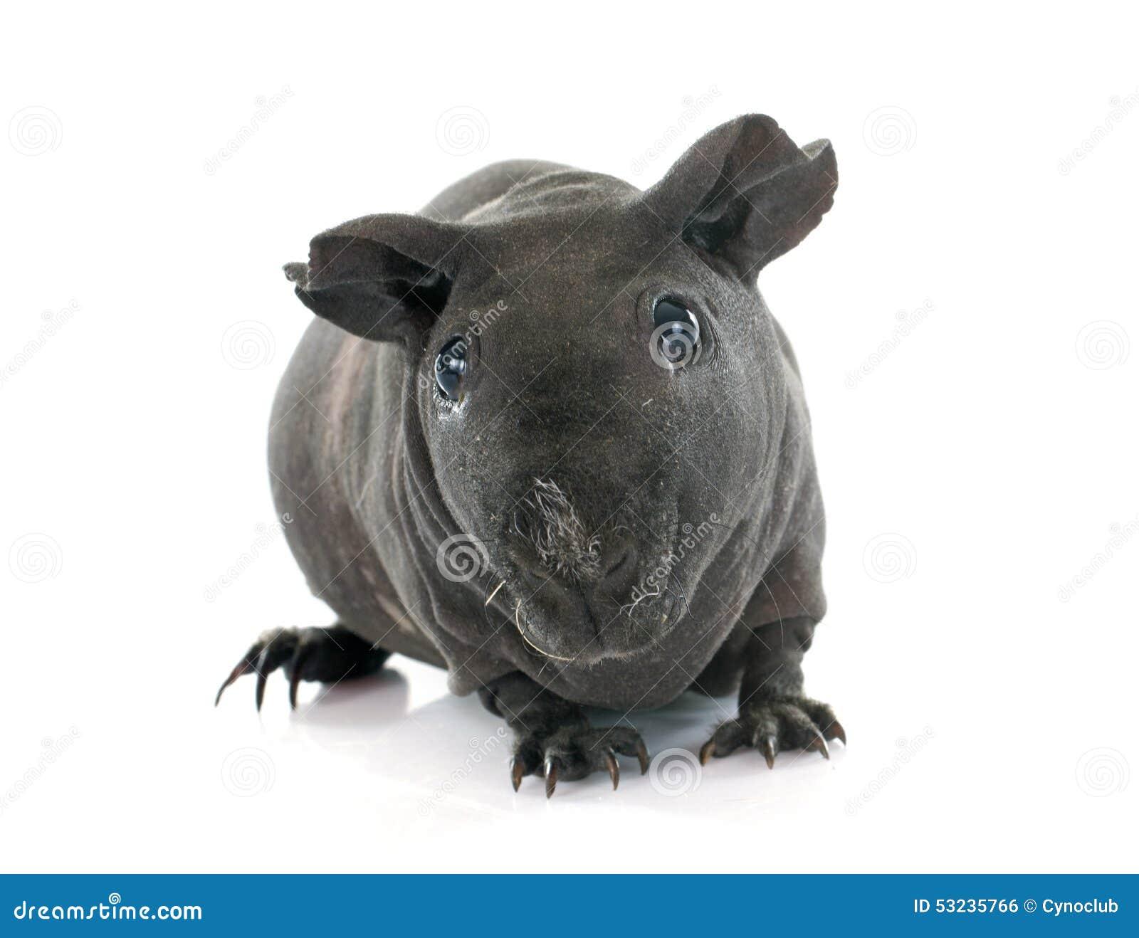 几内亚无毛的猪