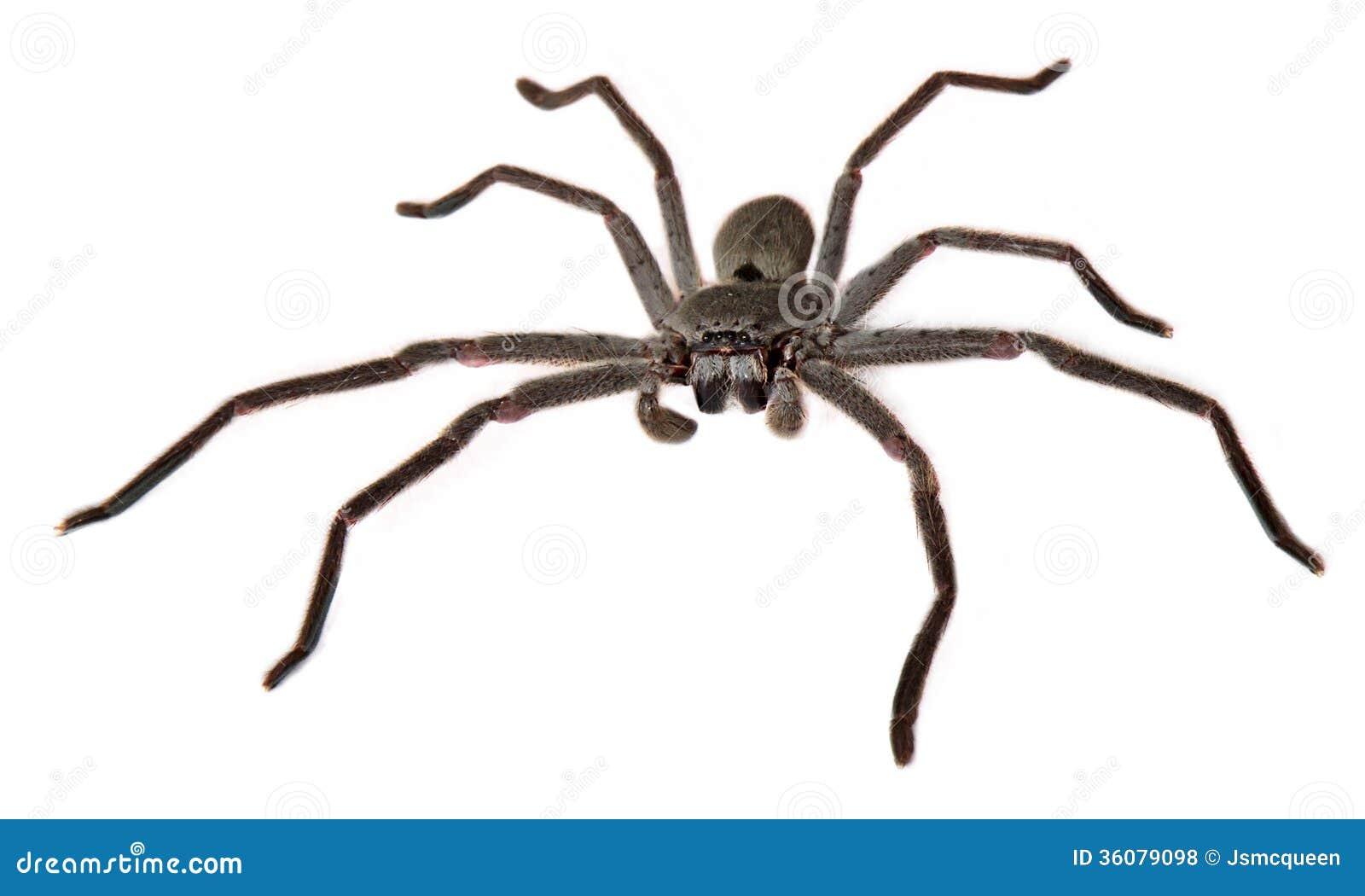 凯瑟琳的猎人蜘蛛