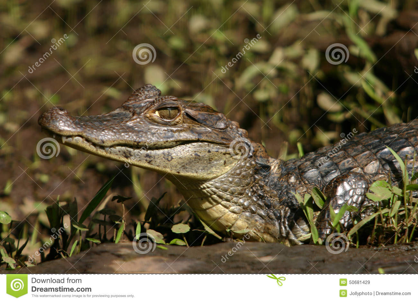 Download 凯门鳄Gator3 库存图片. 图片 包括有 前面, 平稳, 肋前缘, 尼日尔, rica, 中央, 亚马逊 - 50681429