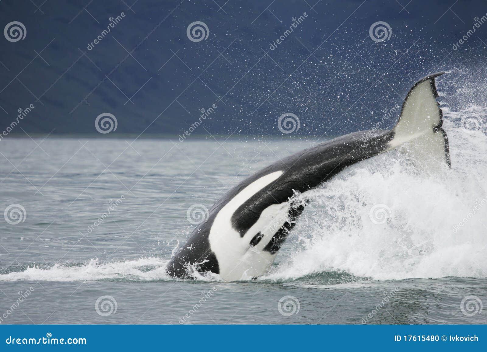 凶手尾标鲸鱼
