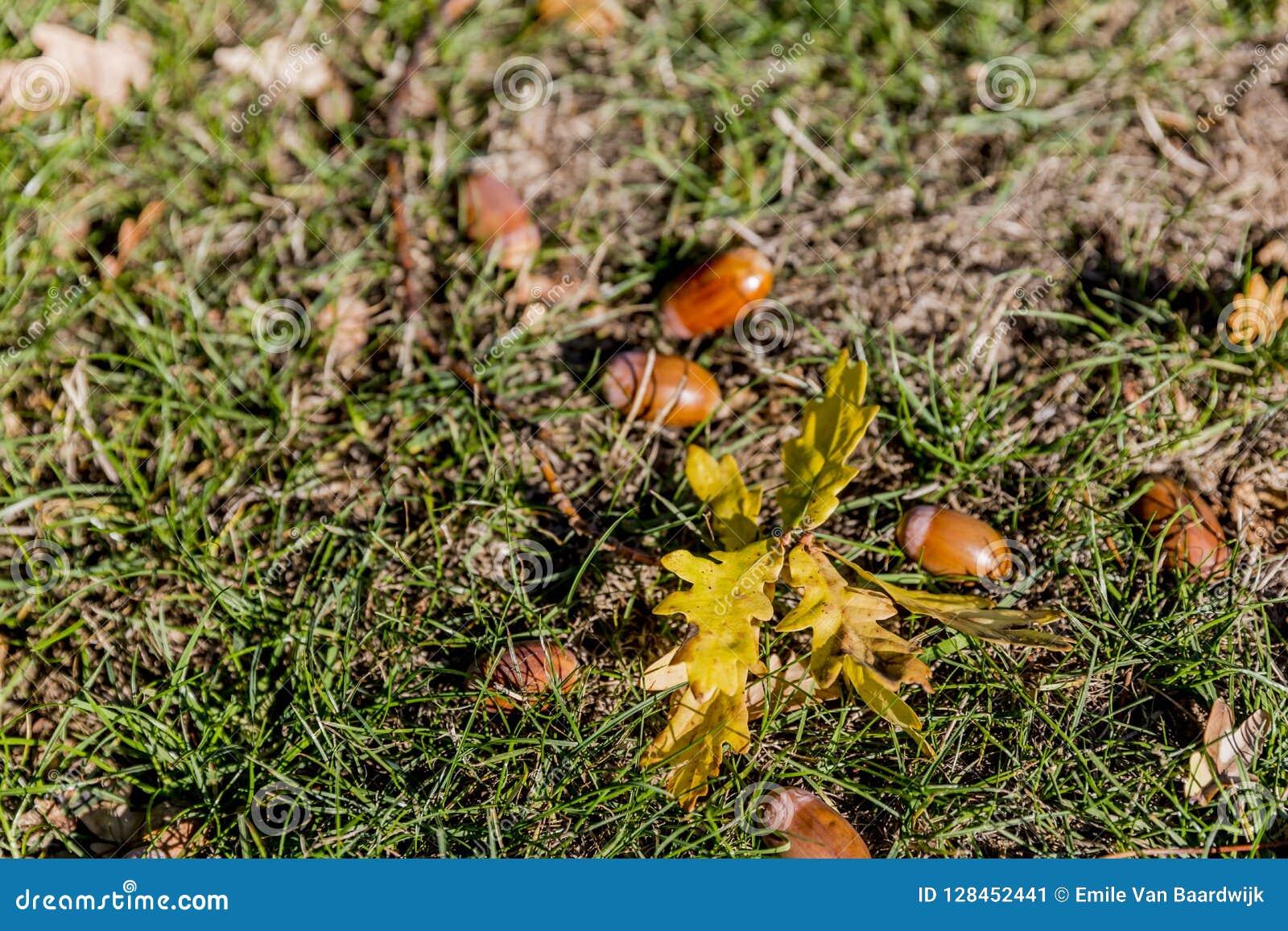 分支与叶子和橡子在草在一秋天天