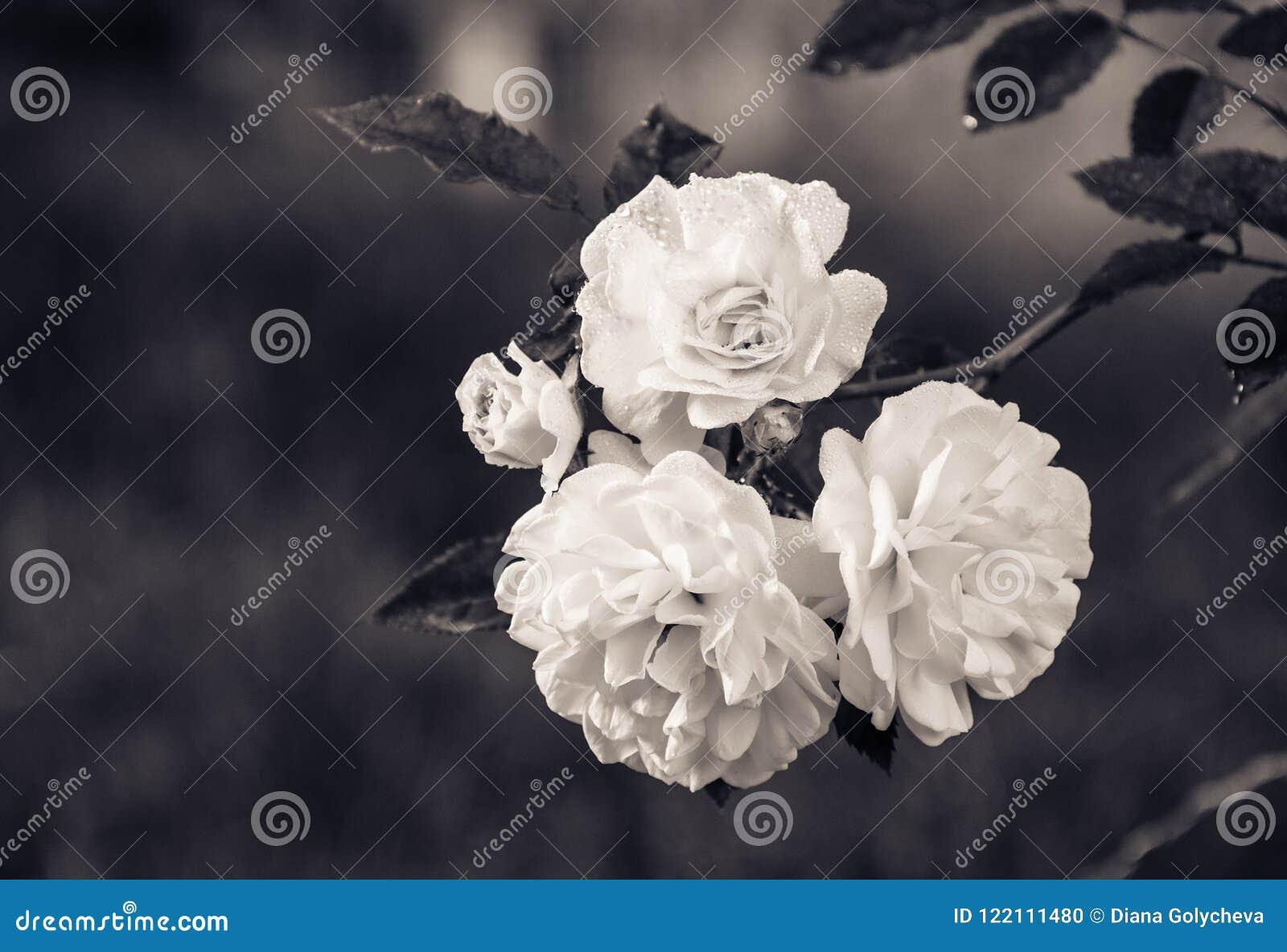 分支与在自然绿色背景的白玫瑰 单色