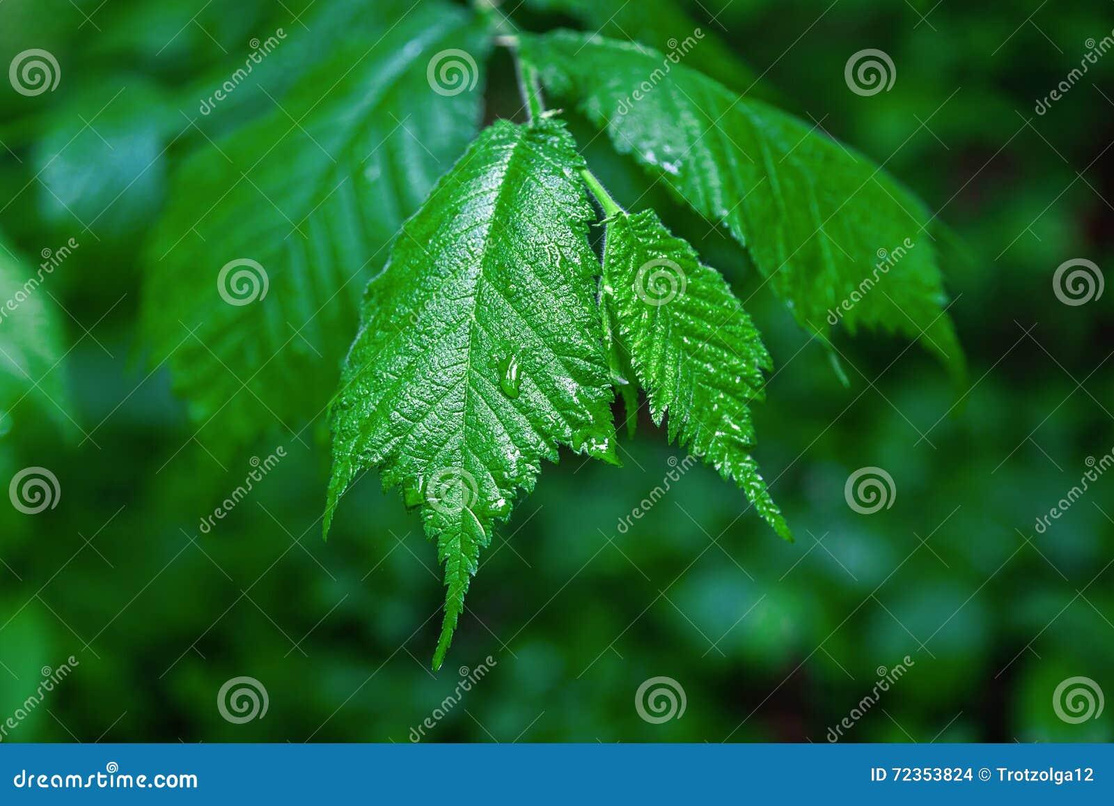 分支与在雨水滴的叶子