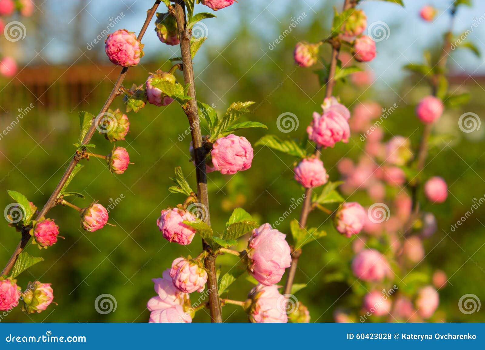 分支与小的桃红色花,花在春天的庭院里