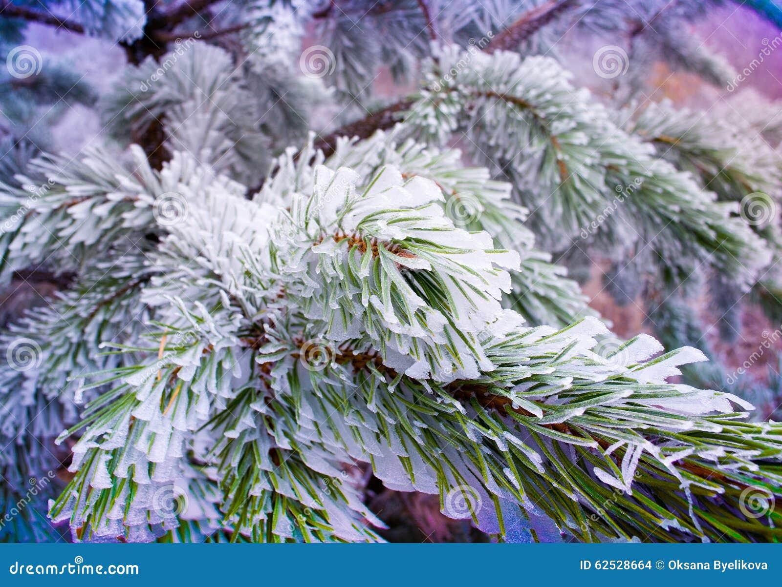 分支与新鲜的雪的杉树