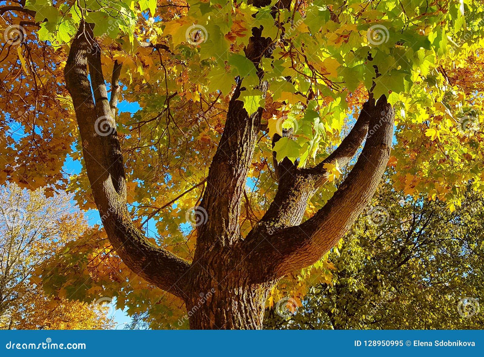 分支和树干与秋天槭树明亮的黄色和绿色叶子反对蓝天背景 底视图
