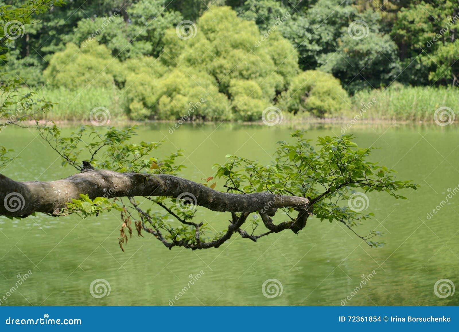 分支是倾斜的在森林湖的表面