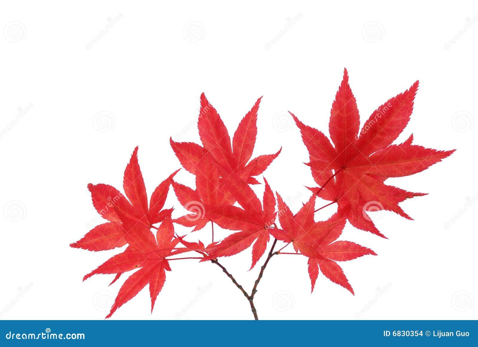 分支槭树红色