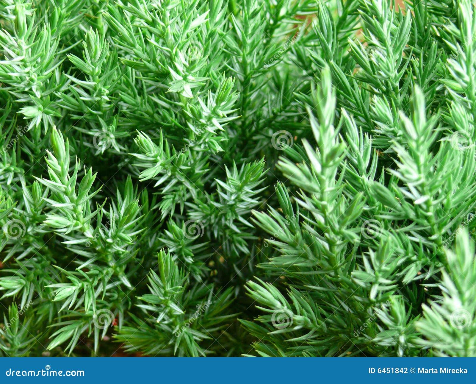 分行新鲜的绿色杉树