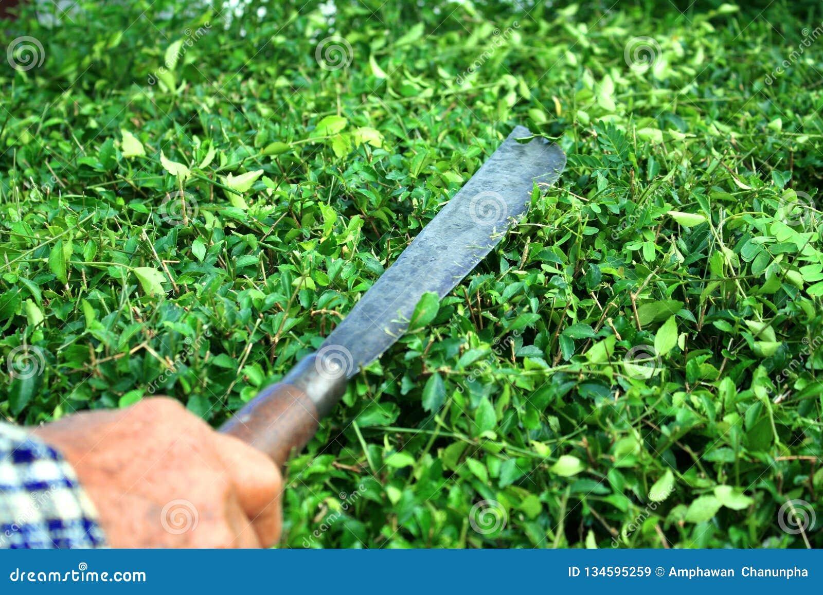 切开Hokkien有长的刀子的花匠茶篱芭