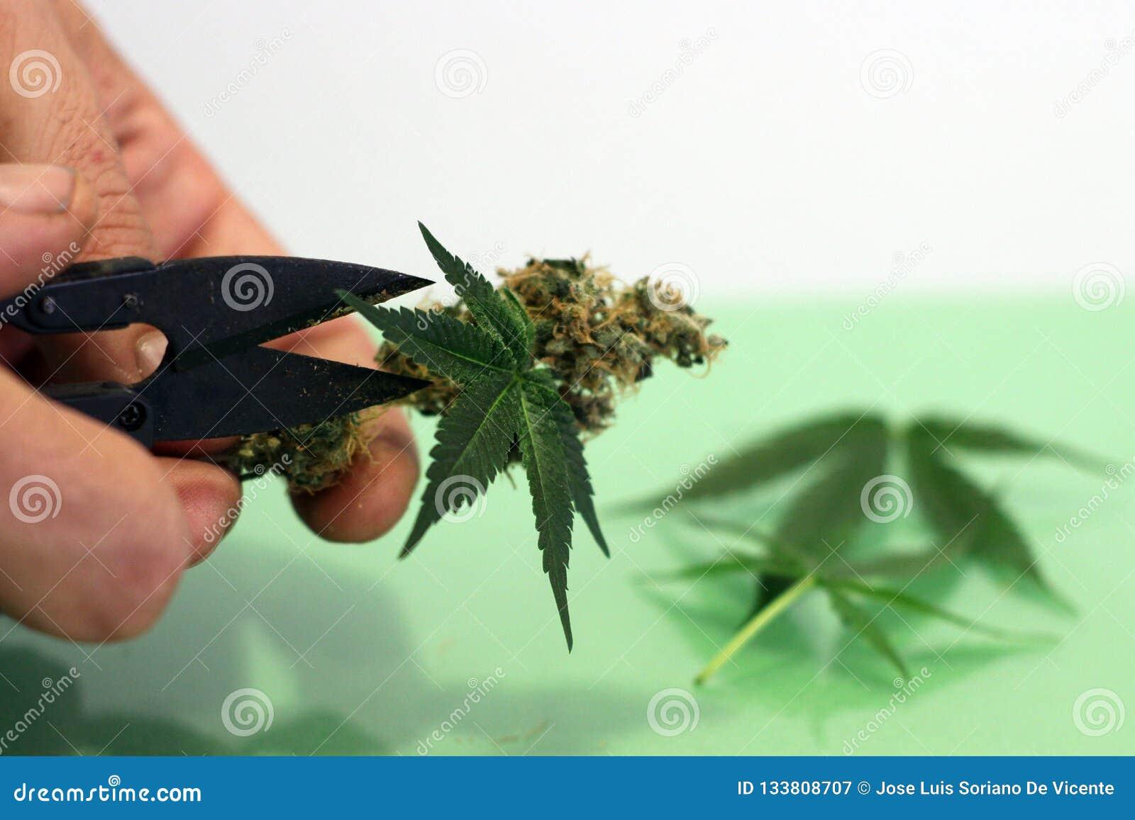 切适当干燥的大麻和治疗