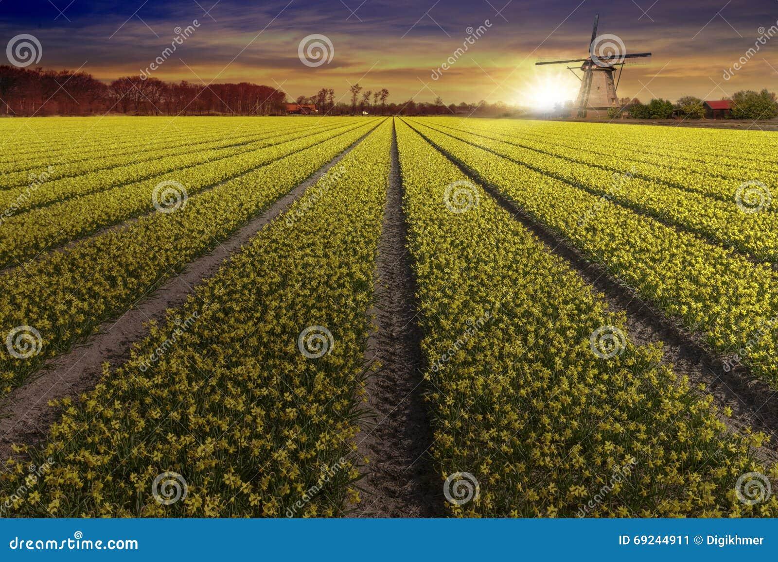 利瑟和Hilligome荷兰人城市的黄色黄水仙电灯泡农场