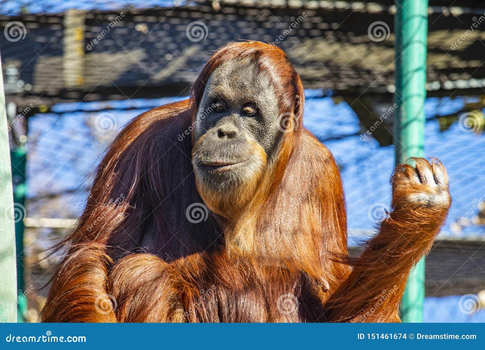 前面在墨尔本动物园的一只猩猩