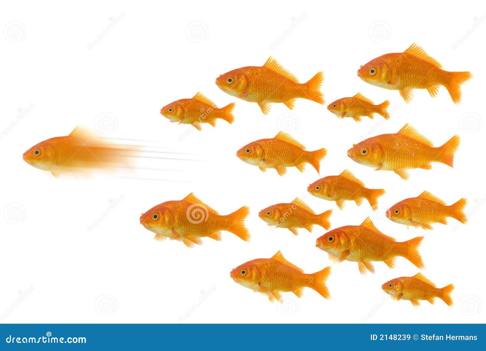 前面金鱼组