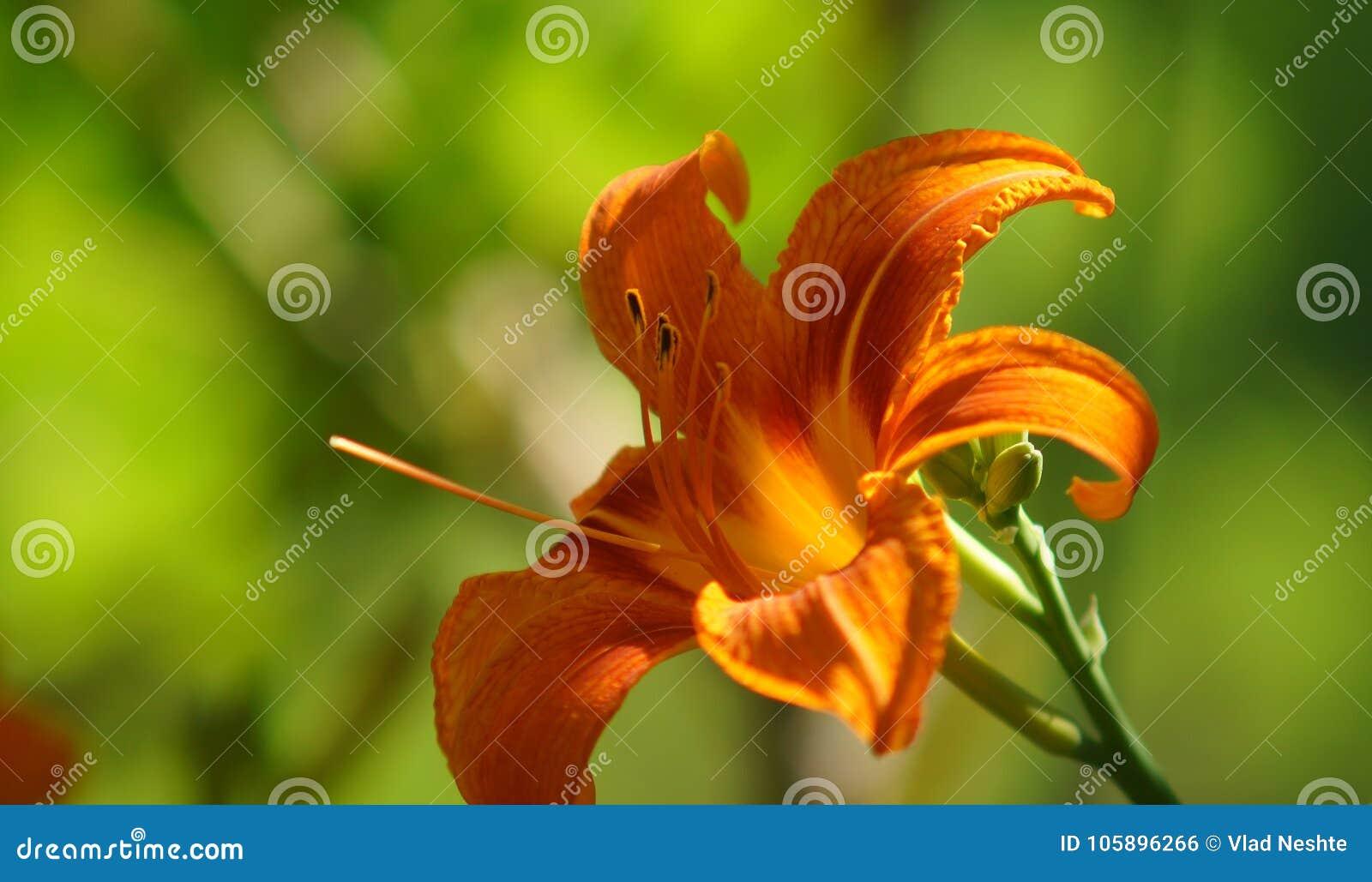 剪报花查出的百合路径白色 橙色花 在草被弄脏的背景的橙色百合