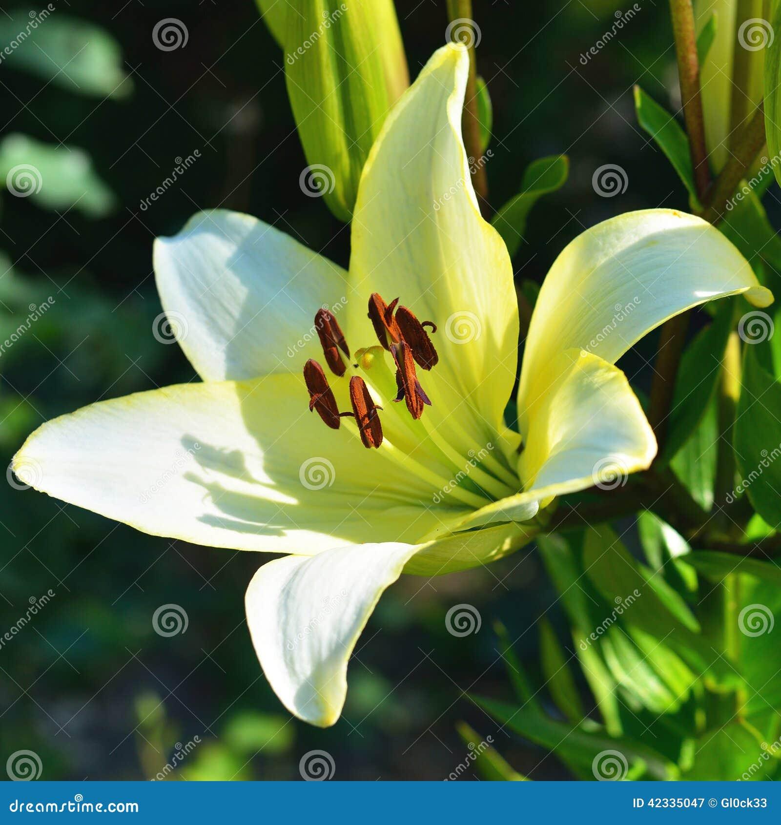 百合花,美麗的黃色黃花菜的圖象開花.圖片