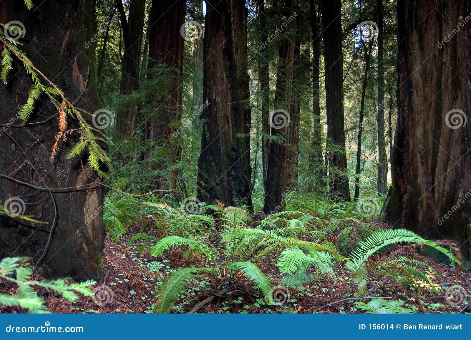 加利福尼亚森林红木