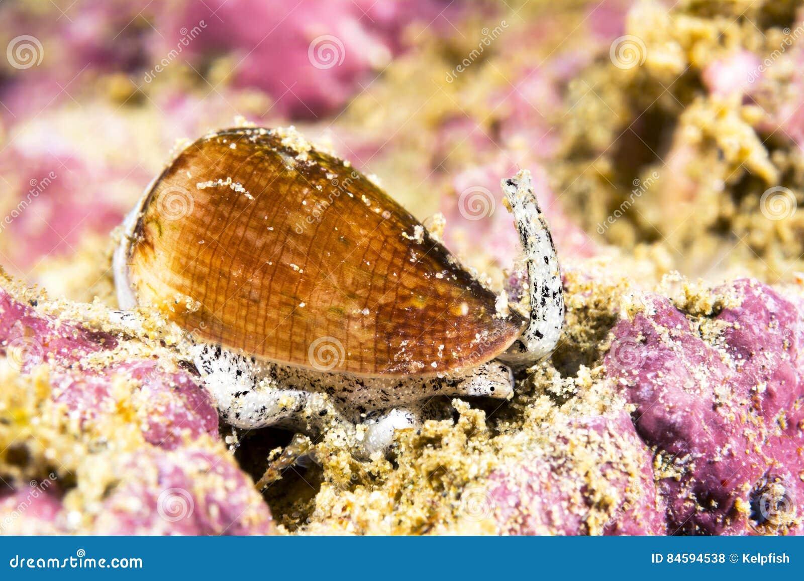 加利福尼亚锥体蜗牛