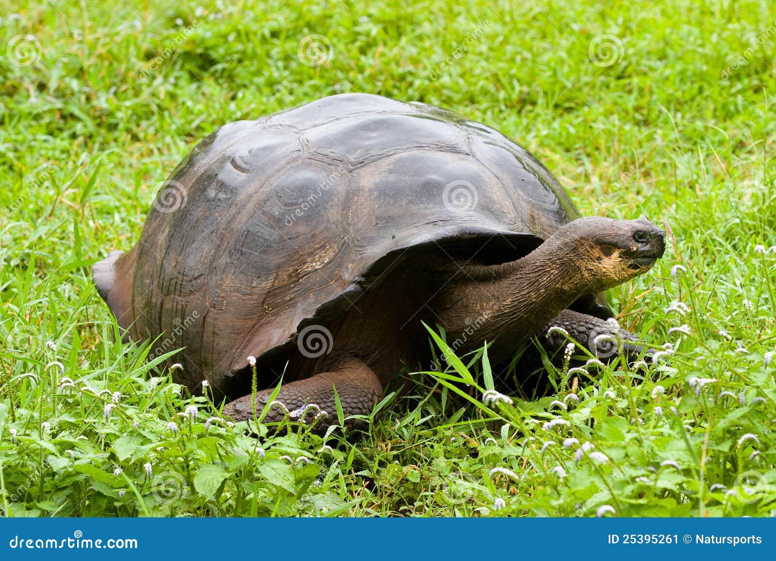 加拉帕戈斯巨型草龟
