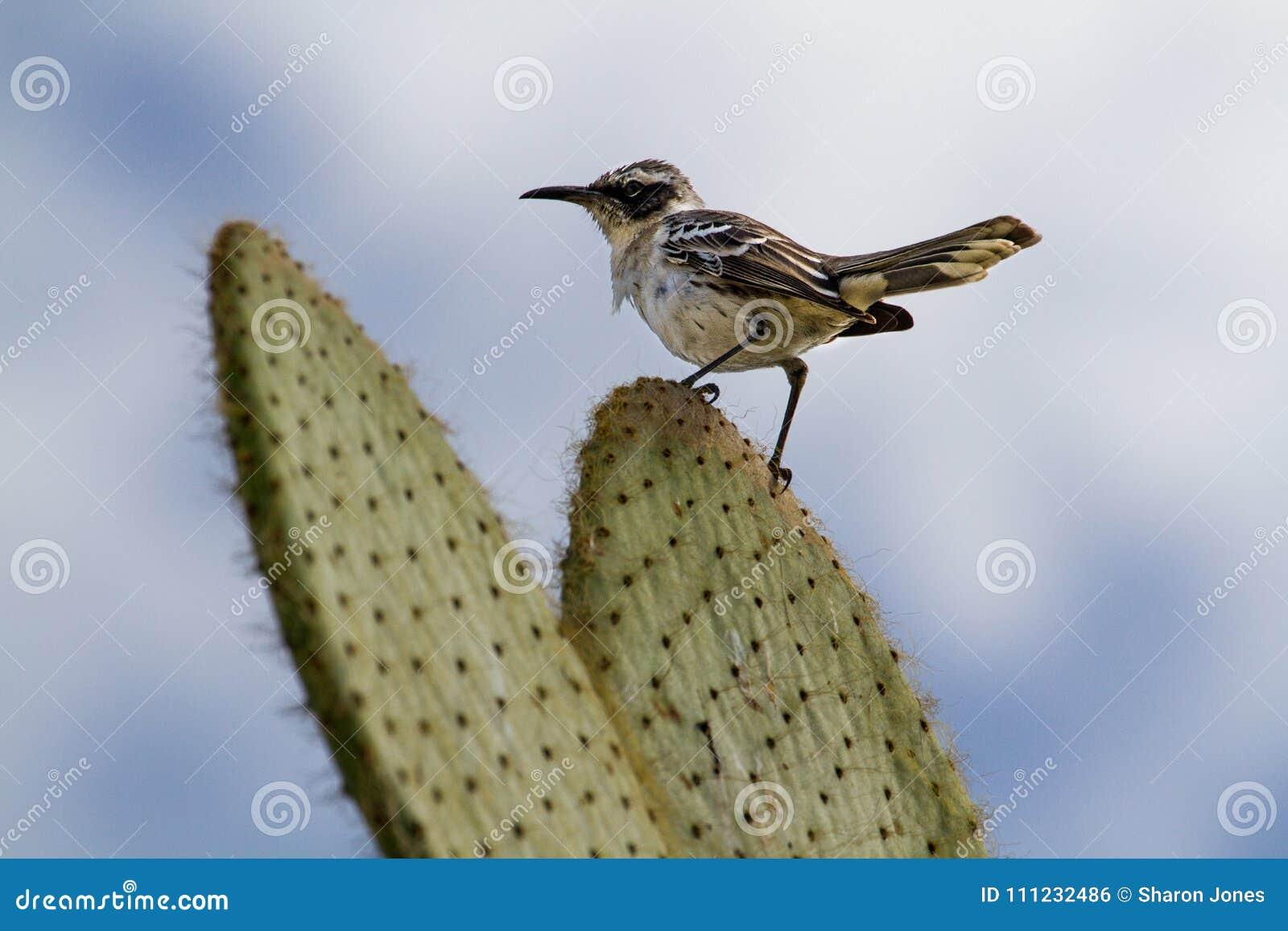 加拉帕戈斯模仿鸟Mimus parvulus,赫诺韦萨岛,加拉帕戈斯群岛,厄瓜多尔