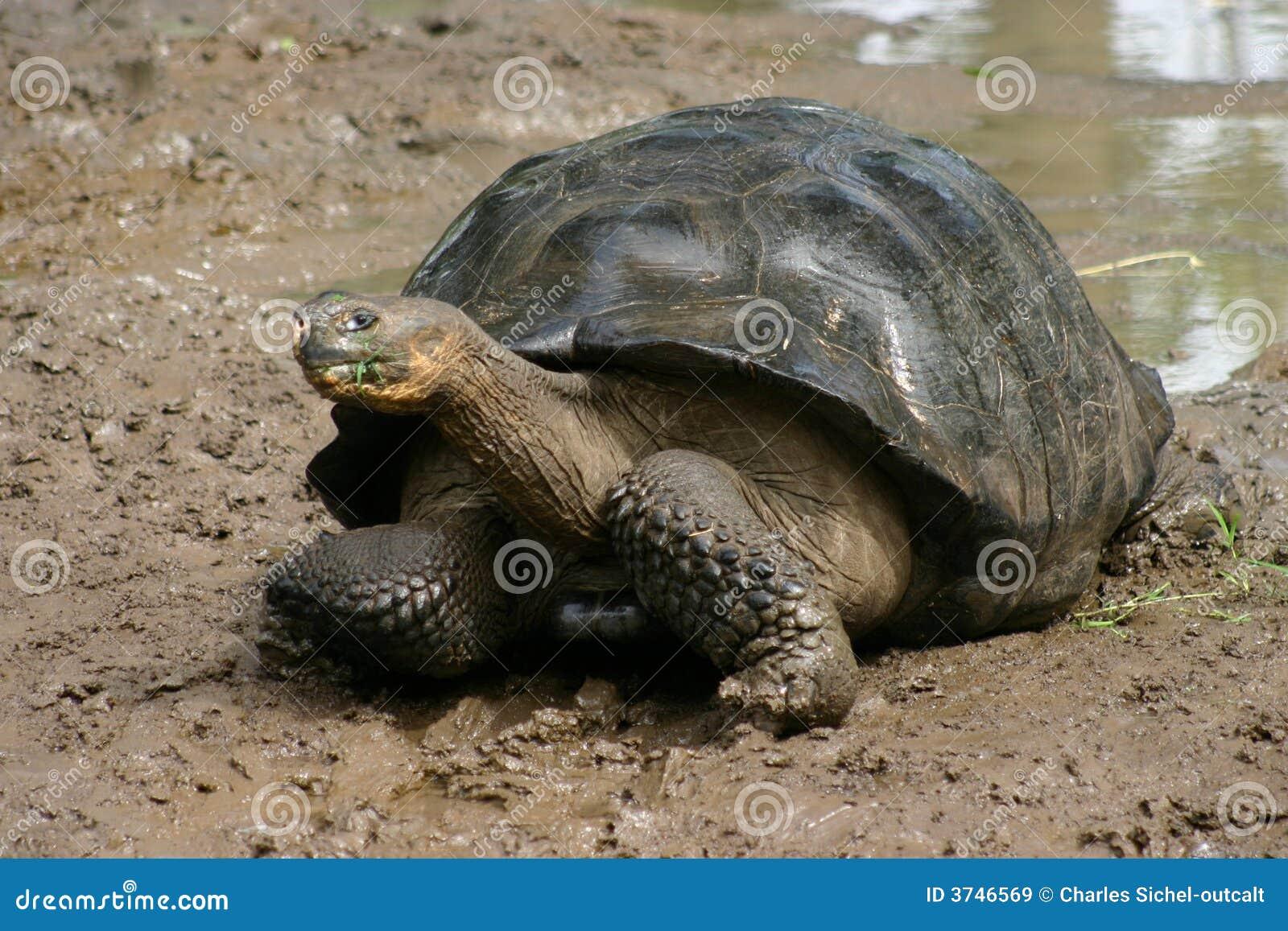 加拉帕戈斯群岛草龟