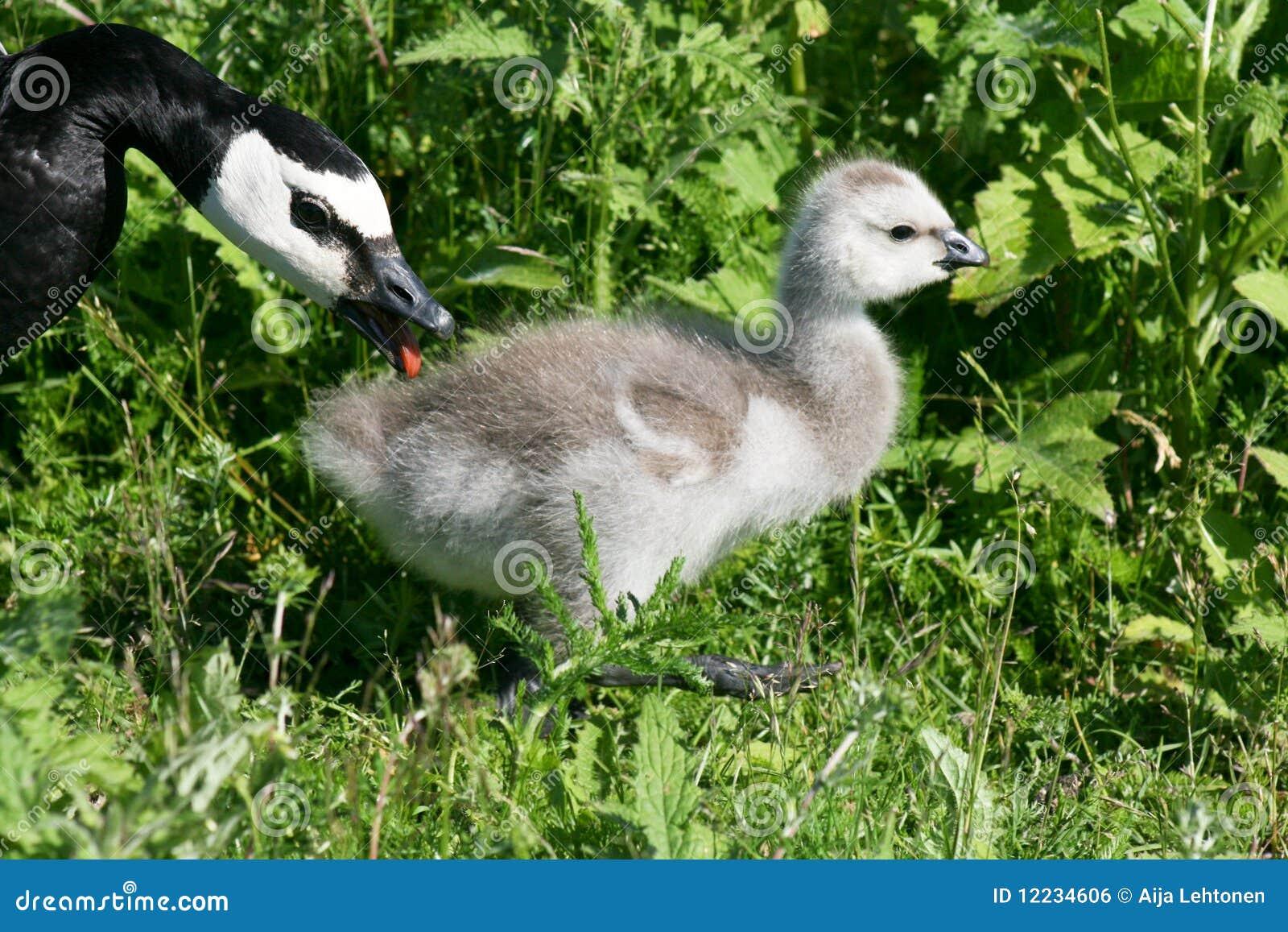加拿大鹅图片