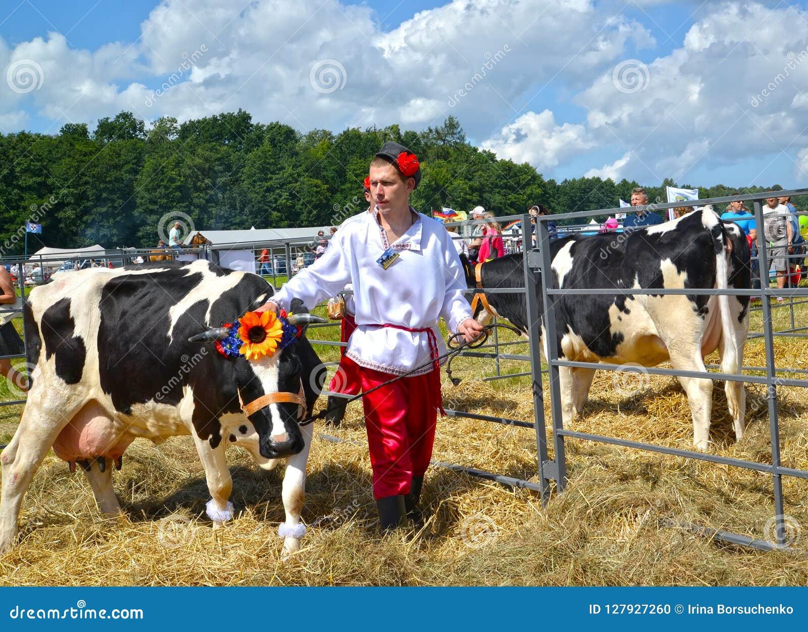 加里宁格勒地区,俄罗斯 农夫牛交配动物者在皮带举办黑色母牛和五颜六色品种 农业假日