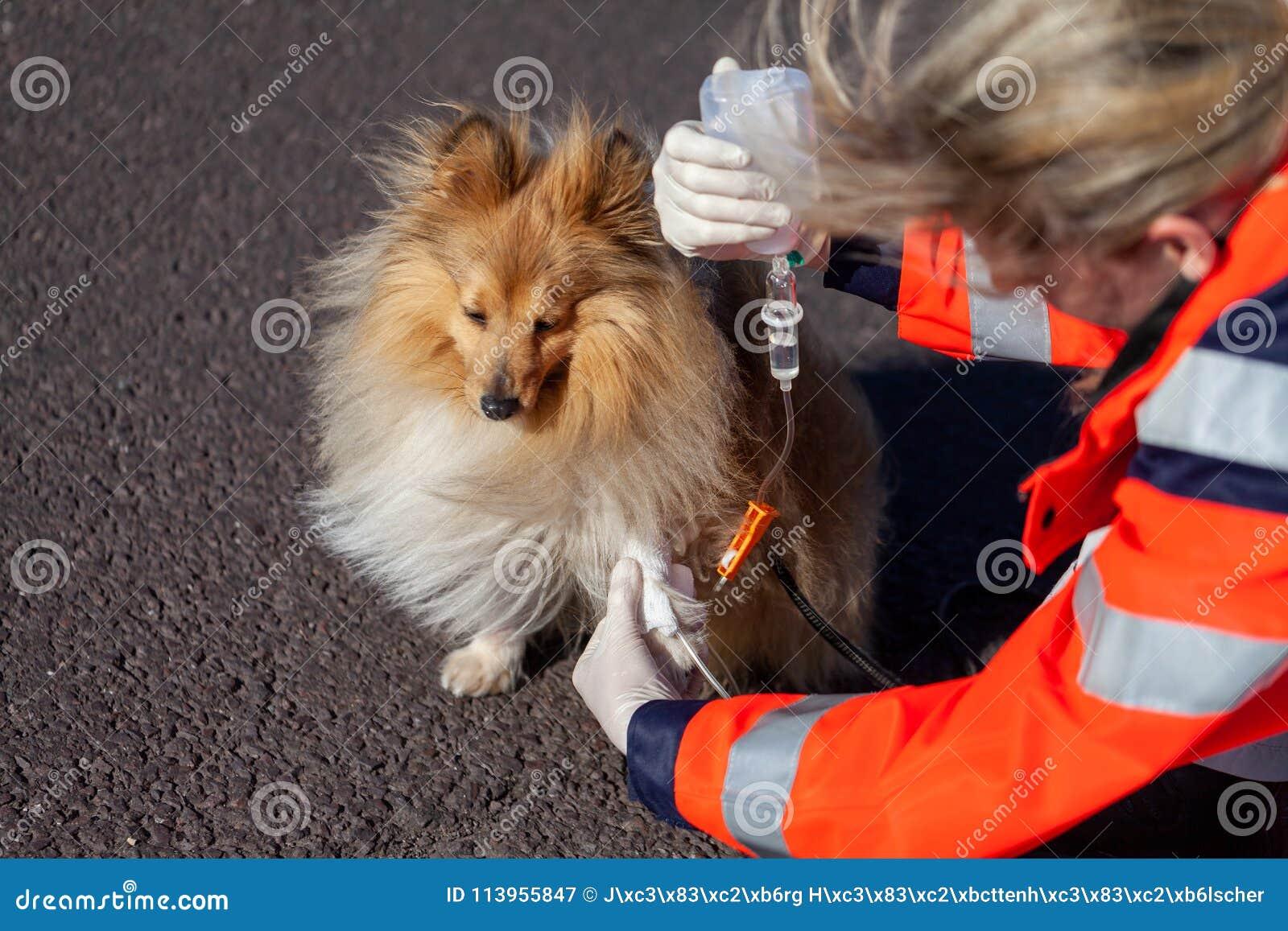 动物军医在狗上把绷带放