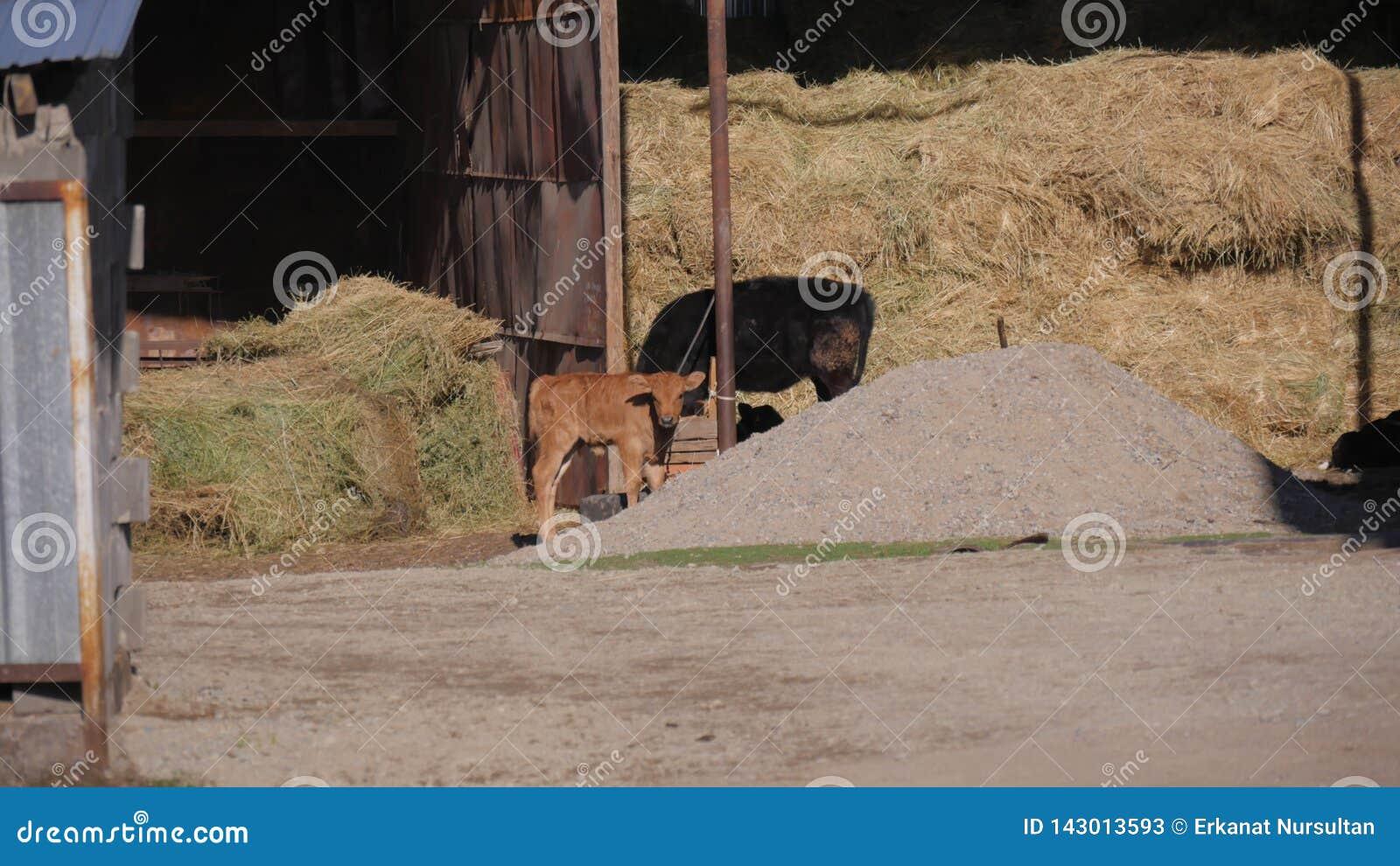 动物在动物园里,小牛