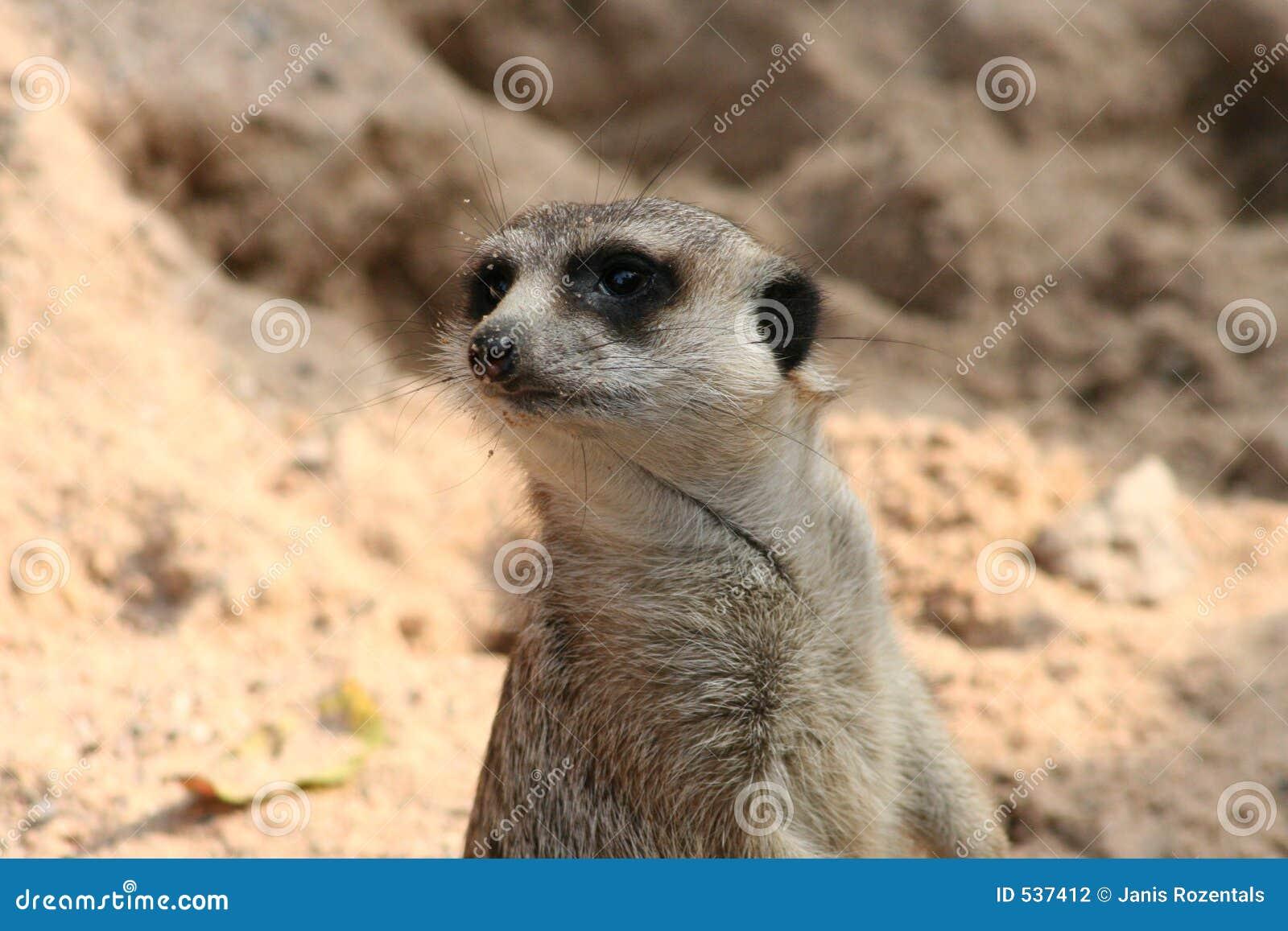 Download 动物 库存照片. 图片 包括有 毛皮, 凝视, 酒精, 哨兵, 醒的, 少许, 敌意, 生活, 摆在, 仅仅 - 537412