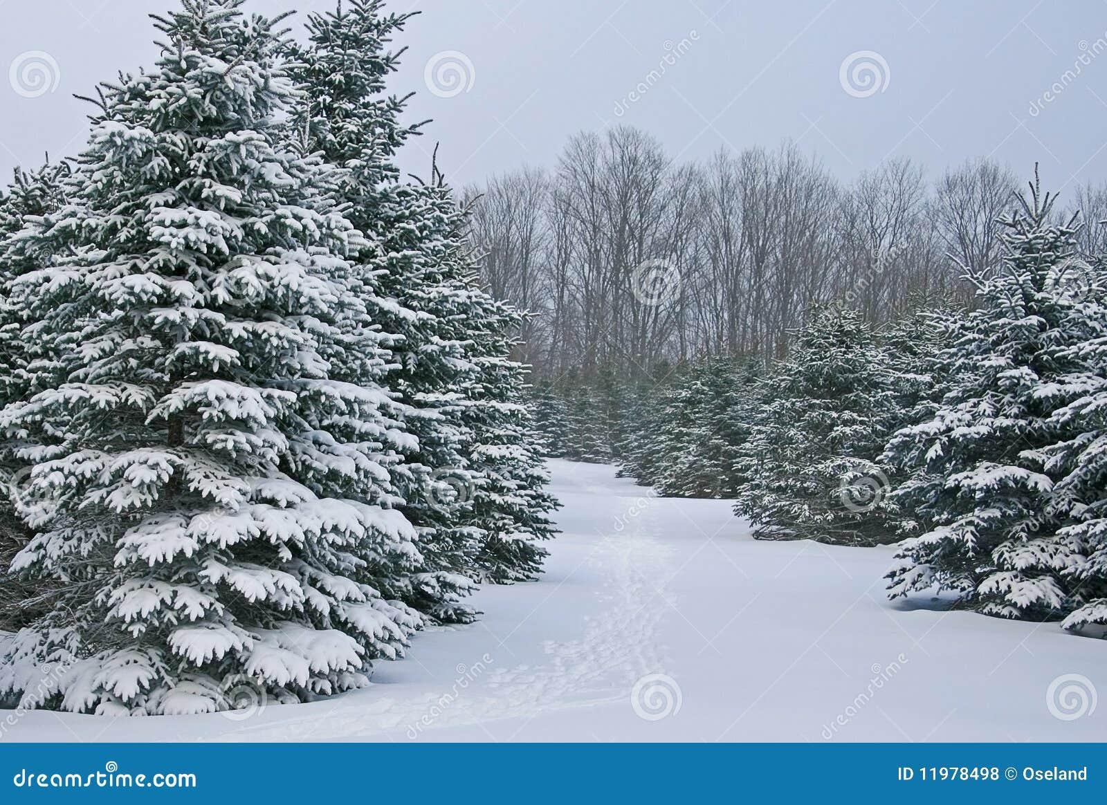 包括的雪云杉结构树