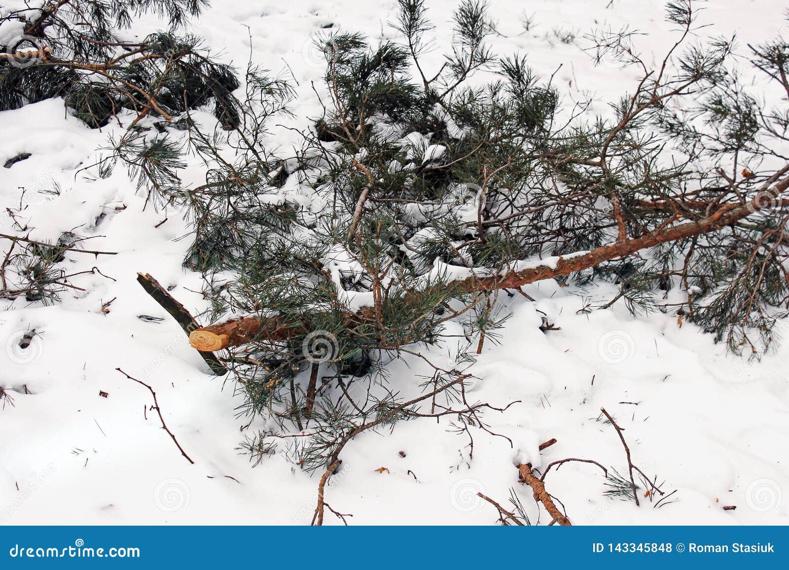 包括的雪云杉 针用雪盖