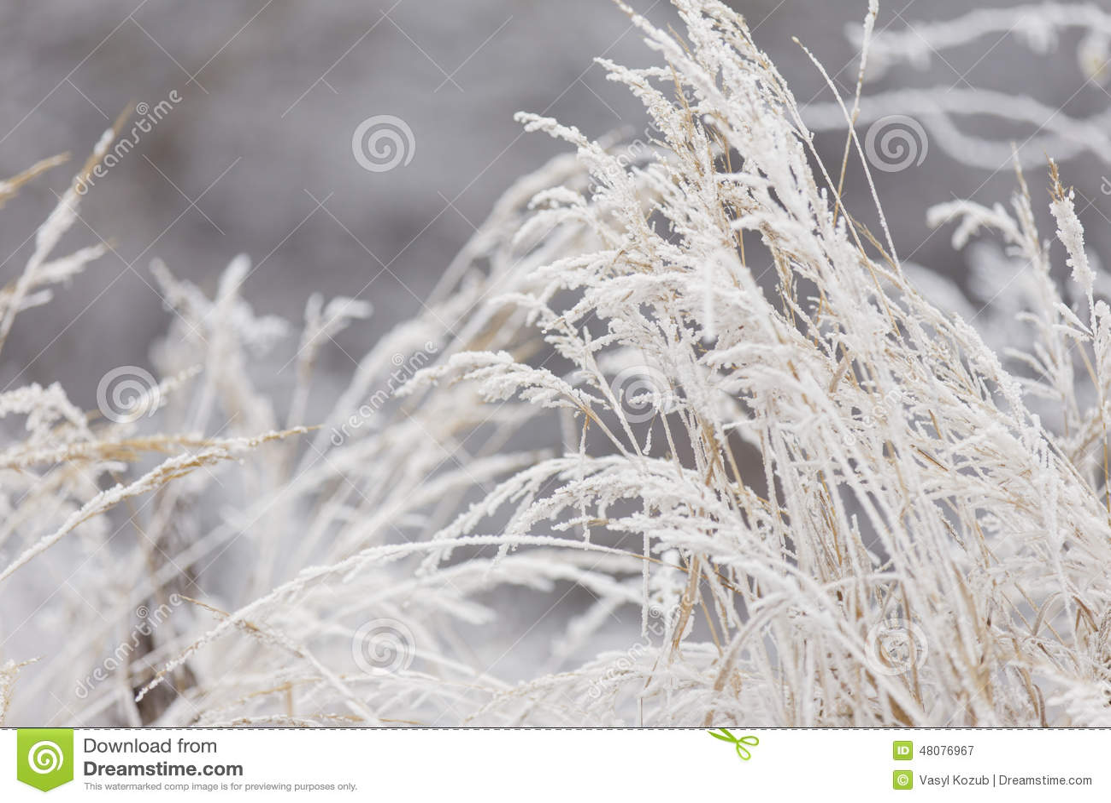 包括的霜草