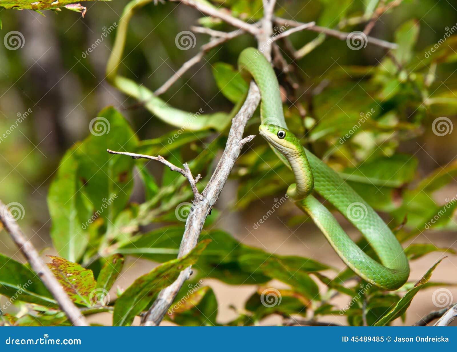绿化粗砺的蛇