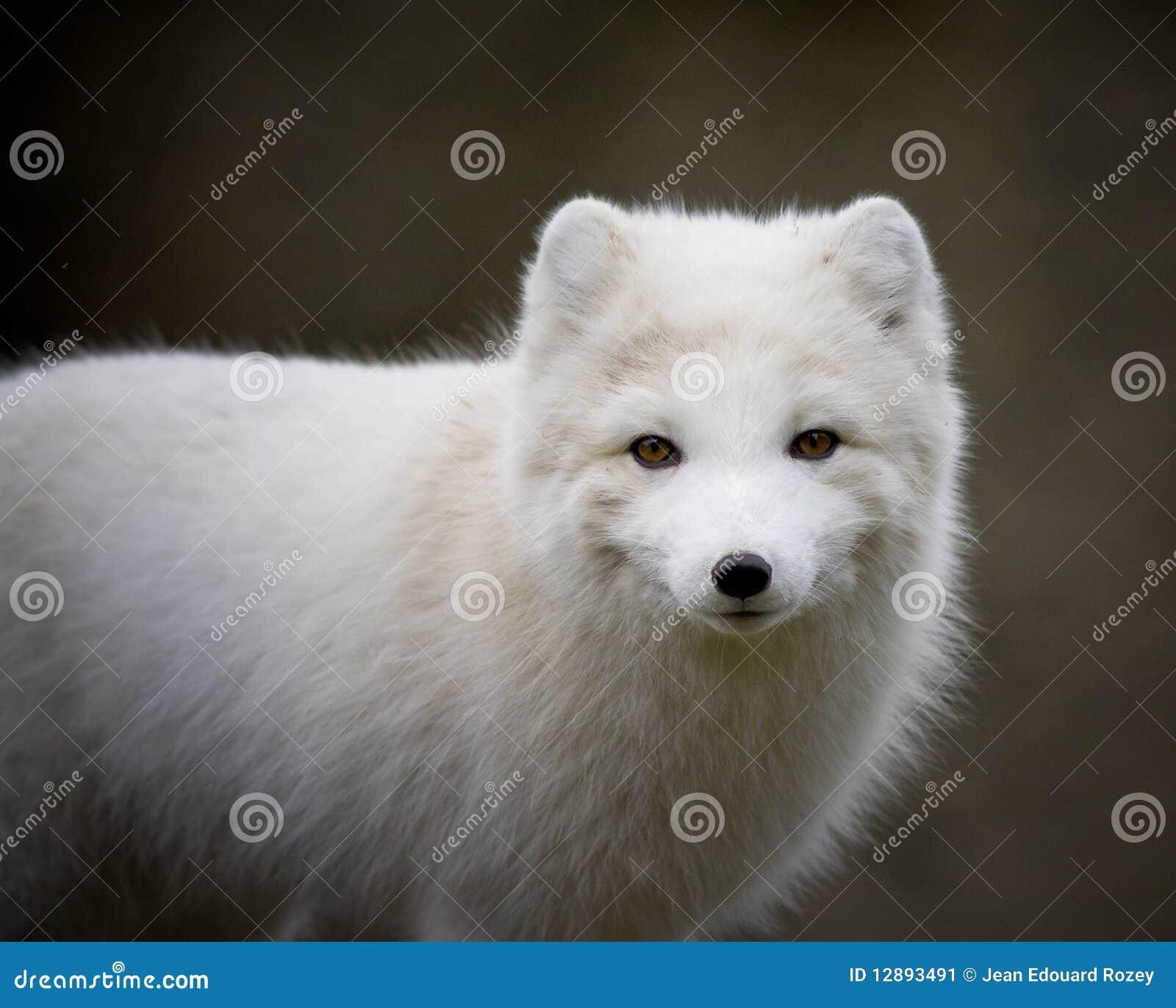 北冰的狐狸