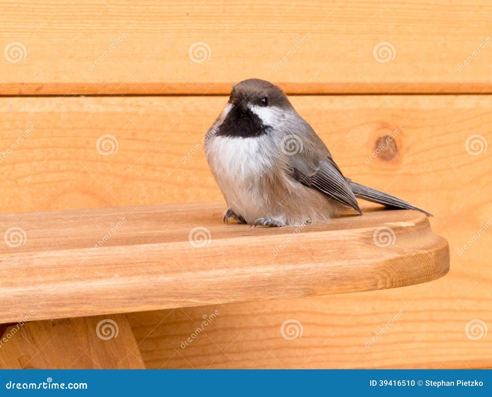 北方山雀Poecile hudsonicus雀形目鸟鸟
