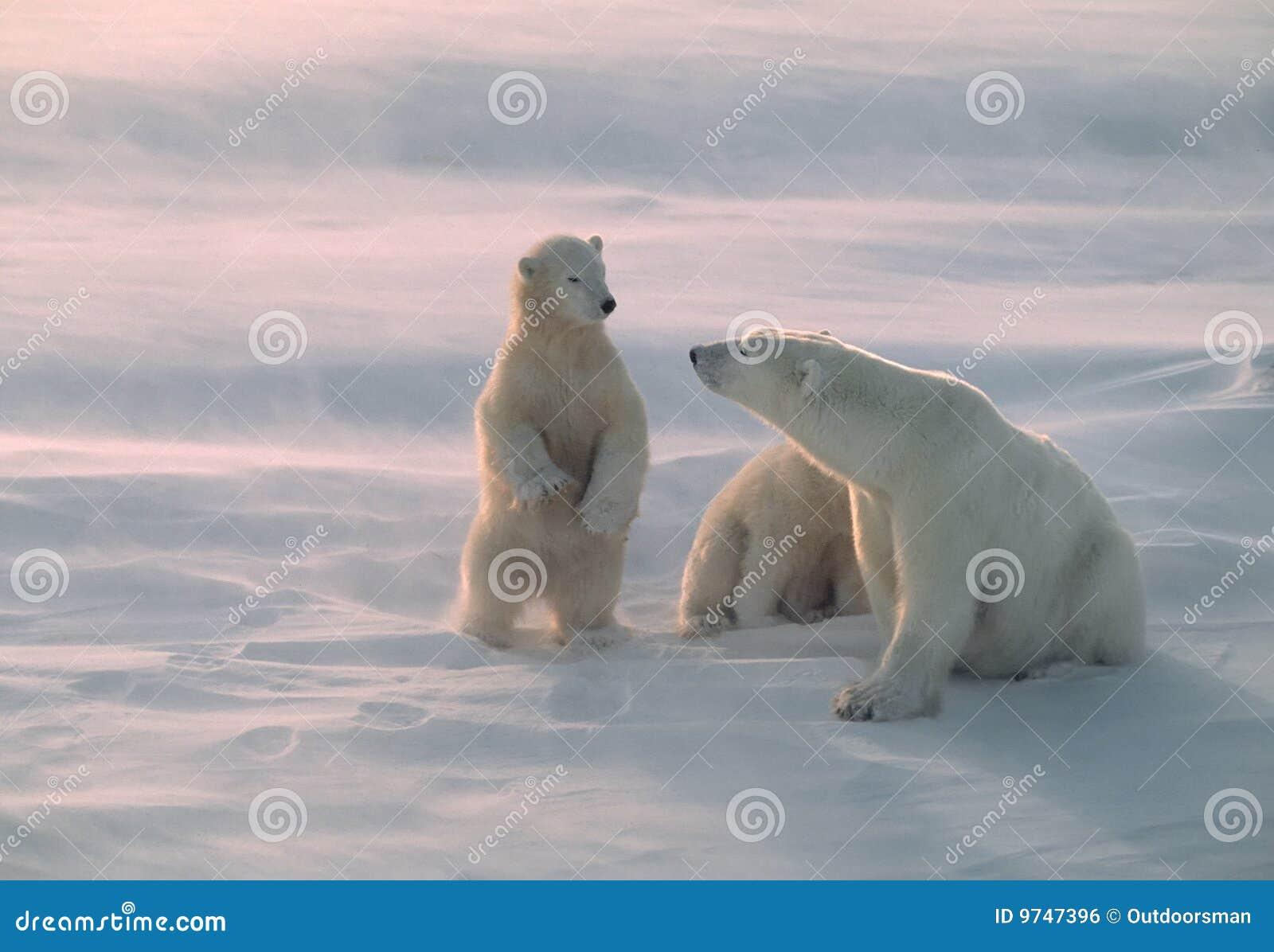 北极熊加拿大极性