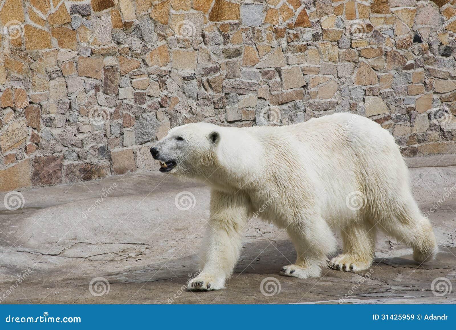 北极熊在一个平台去在动物园里.超凡蜘蛛侠2观看游戏图片