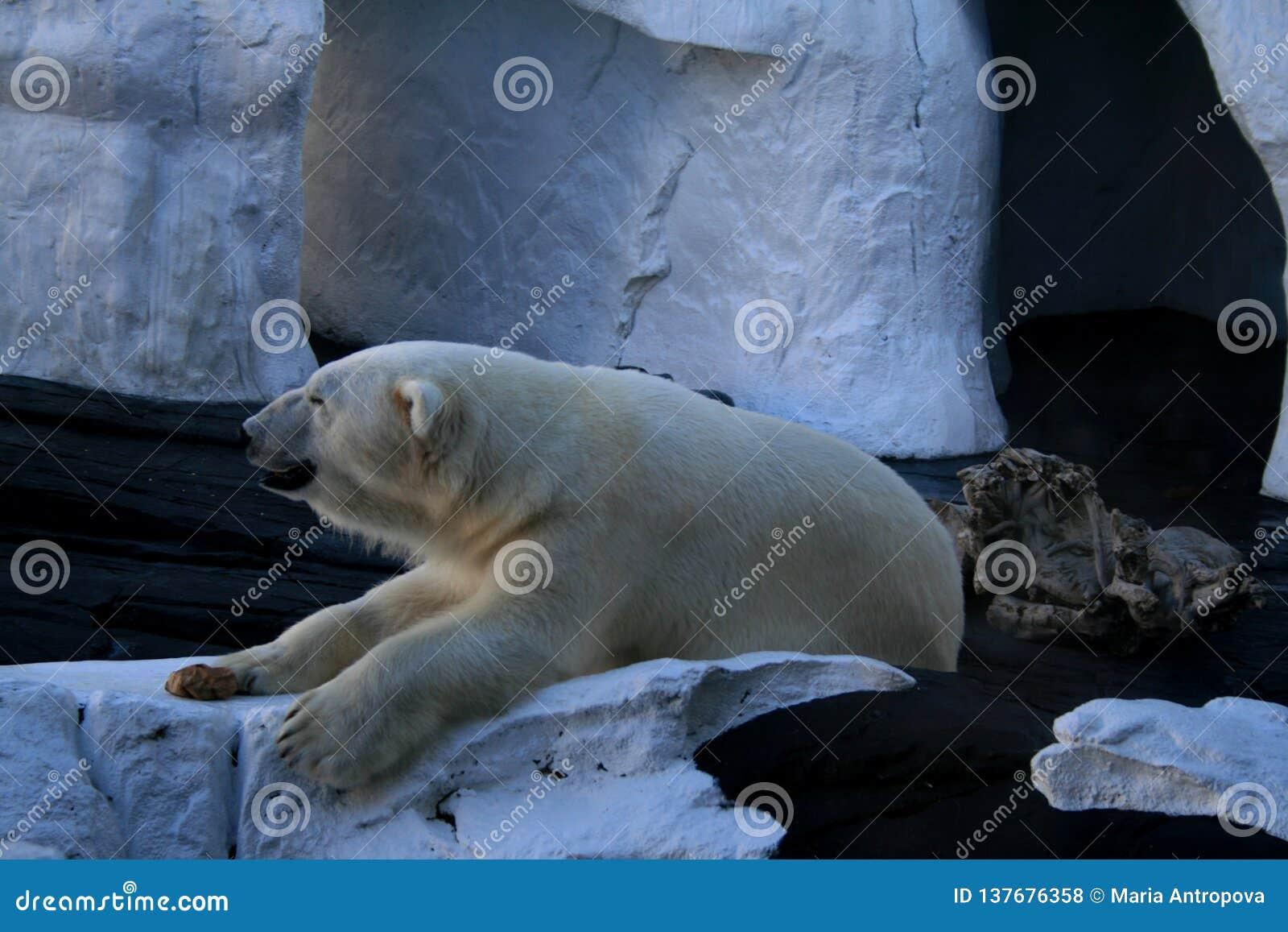 北极熊在SeaWorld