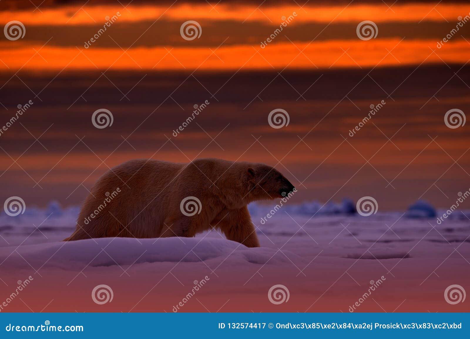 北极熊日落在北极 涉及与雪的流冰,与晚上橙色太阳,斯瓦尔巴特群岛,挪威 美丽的红色天空