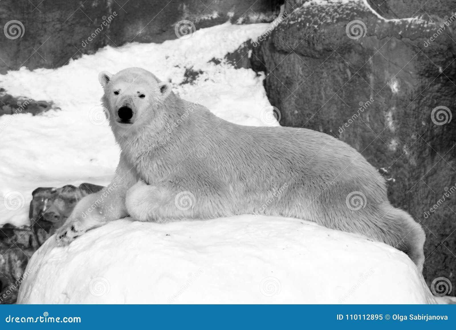 北极熊熊属类在浮冰块的maritimus崽,在斯瓦尔巴特群岛北极挪威北部