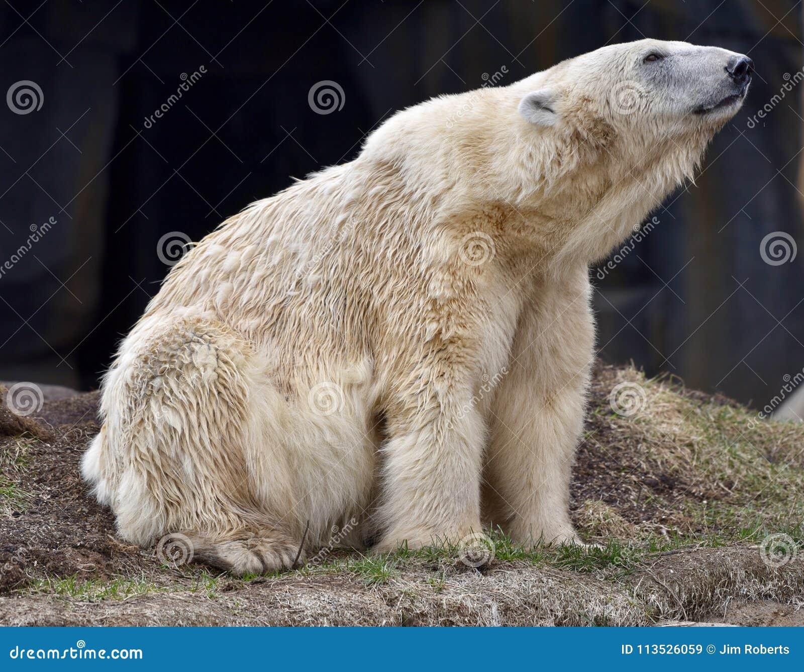 图片大公园北极熊的一张早期的春天男性在位于芝加哥的通心兔子动物园一头吃林肯菜吗图片