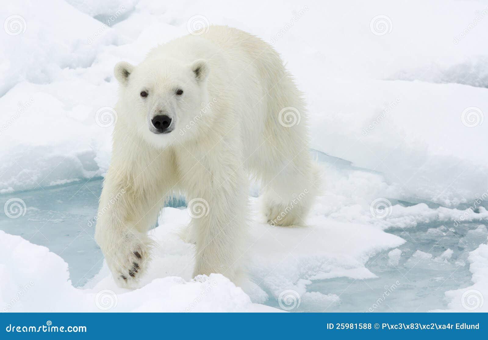download北极熊照片地址.成都肿瘤医院库存狮子楼图片