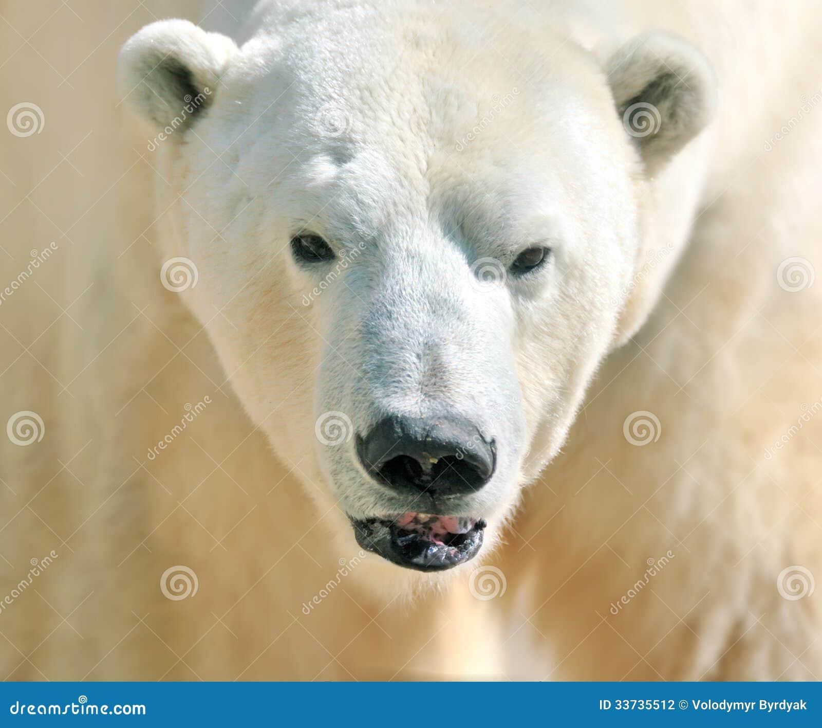 熊乃瑺yak9�+�,_no pr: no 2 253 2 北极熊 id 33735512 © volodymyr byrdyak