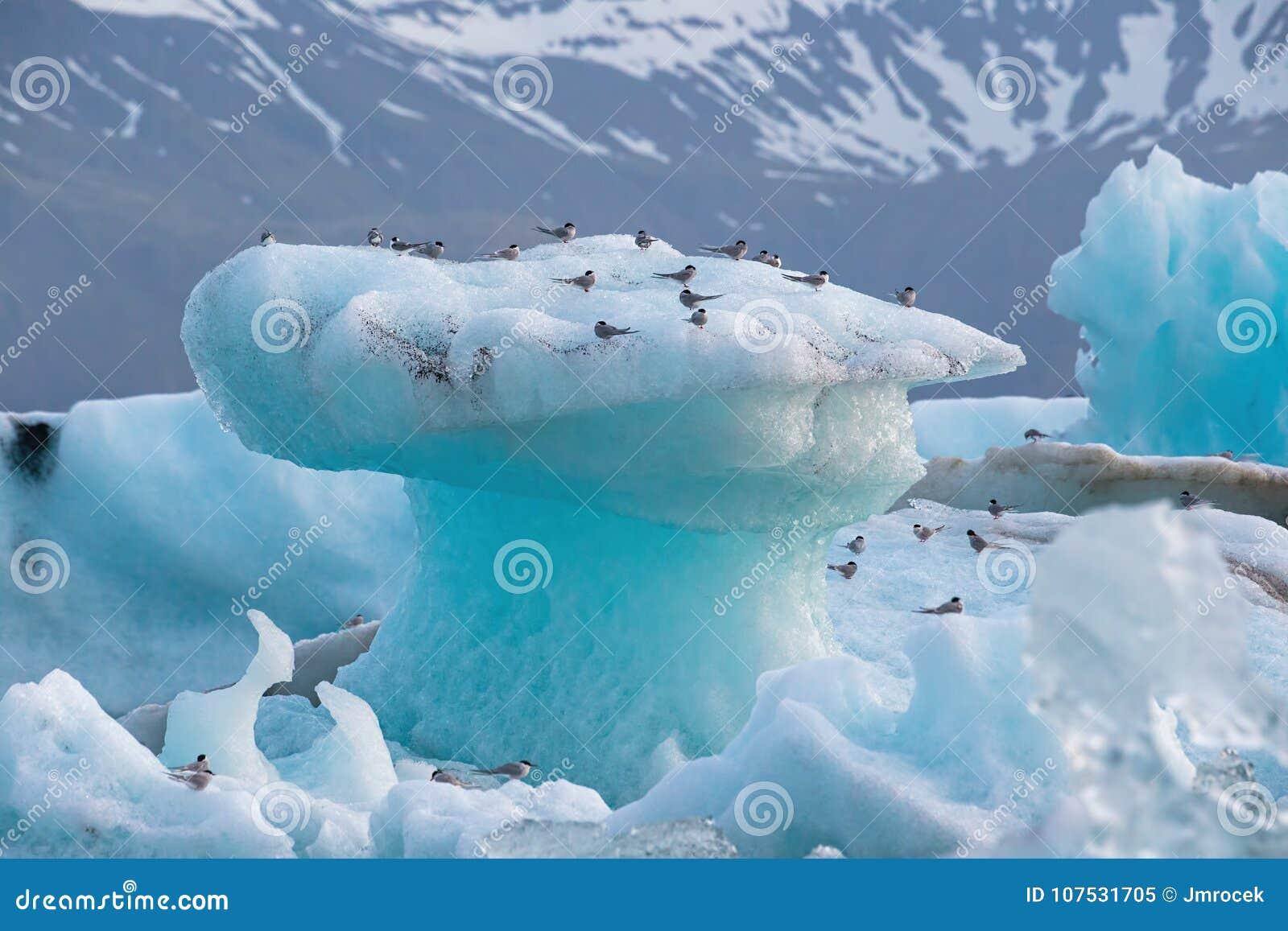 北极燕鸥,胸骨paradisaea,基于冰山在Jokulsarlon冰川湖在冰岛