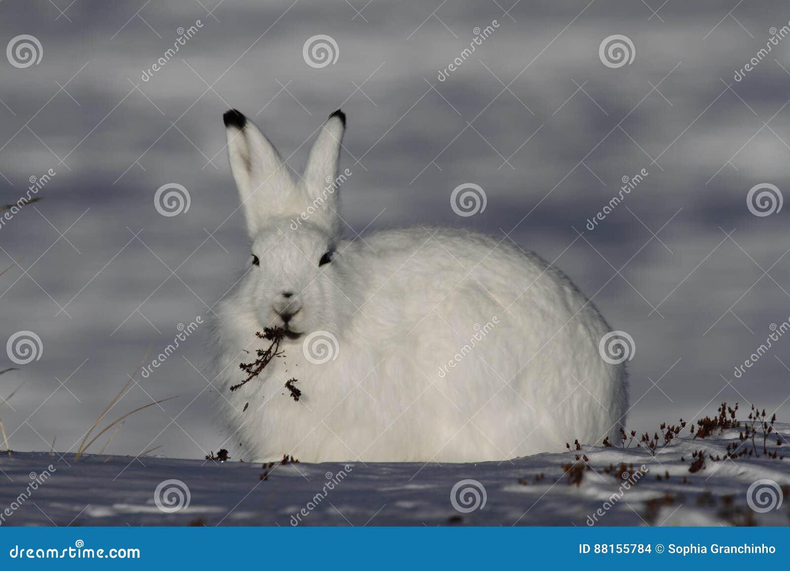北极野兔天兔座arcticus嚼在亚怀亚特,努纳武特附近的杨柳