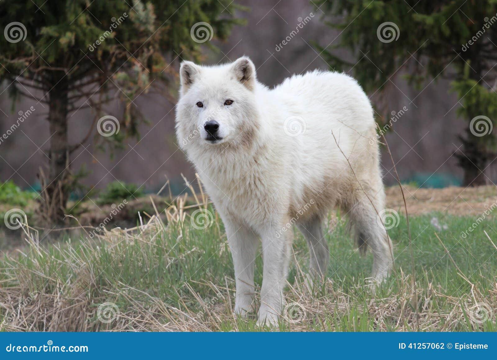 北极(白色)狼