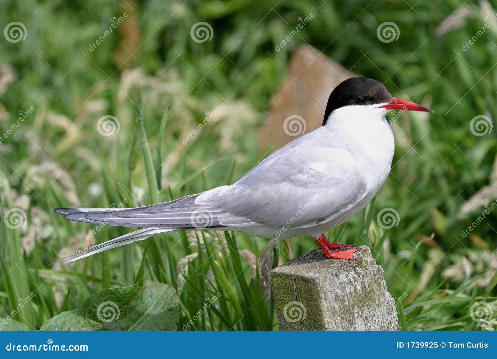 北极paradisea胸骨燕鸥